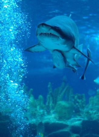 Aquaria KLCC: Grey white shark