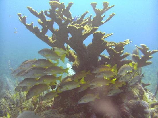 Caye Caulker, Belize: Elkhorn coral at Esmerelda