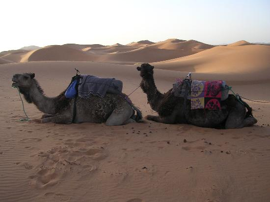 Tours Of Peace & Morocco Holidays - Day Tours: our dromedaries
