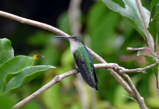 Colibrí rubí-throated