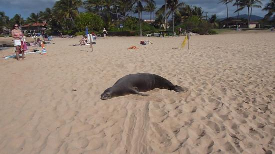 Poipu Beach Park : Mönchsrobbe auf dem Poipu Beach