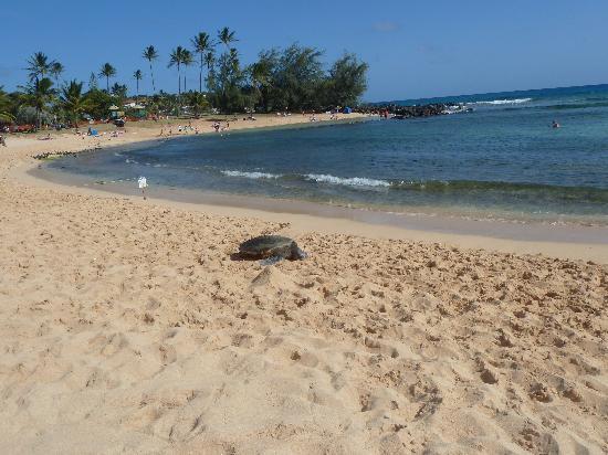 Poipu Beach Park : Green Turtle auf dem Poipu Beach
