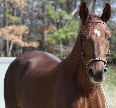 Hacienda la Pecosa: Paso Fino Show Horses