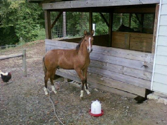 Hacienda la Pecosa: Paso Fino Show Horses: Marengo