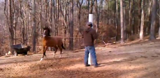Hacienda la Pecosa: Paso Fino Show Horses: Training: Marengo