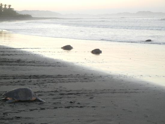 Ostional Turtle Lodge: Ostional Beach early morning