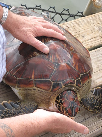 Tahaa, Polinesia Francesa: one of the turtle saved