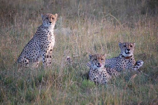 Kichaka Luxury Game Lodge: Cheetah-Familie