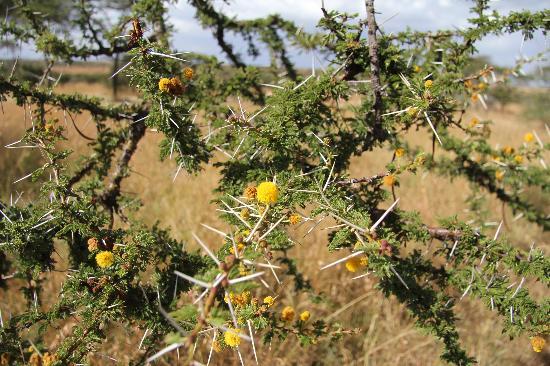 Naboisho Camp, Asilia Africa: acacia's flowers