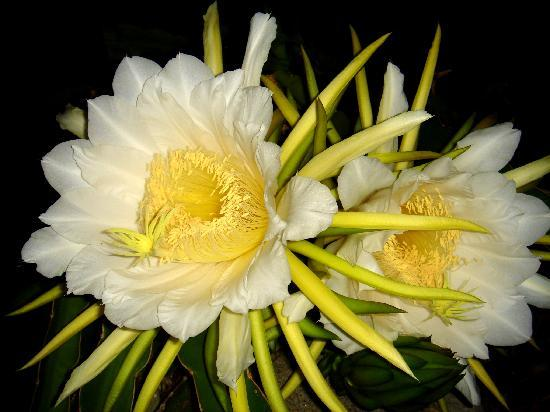 The Pitaya Or Dragon Fruit Flower Called A Night Blooming Cereus