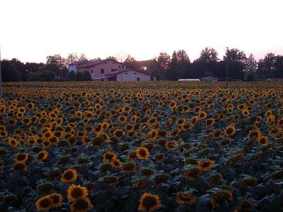 Airone Pisa Park Hotel: Sunflower heaven next door to hotel
