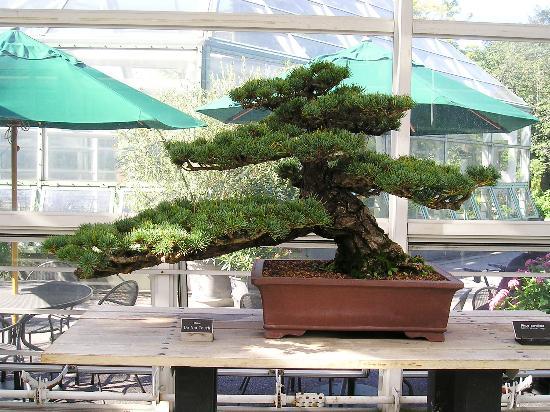 Brooklyn Botanic Garden: I Bonsai