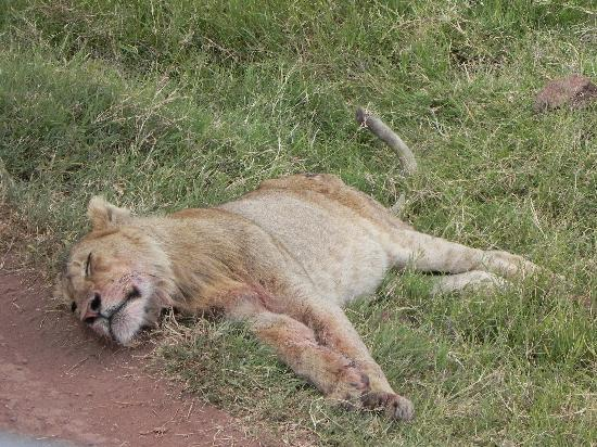 Ngorongoro Conservation Area, แทนซาเนีย: Sleeping lion