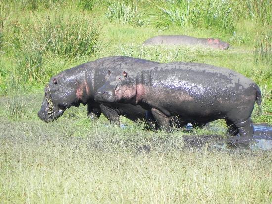 Ngorongoro Conservation Area, تنزانيا: Hippos