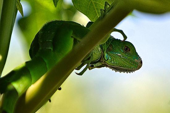 Three Iguanas Villa照片