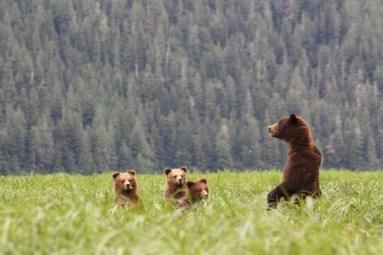 Khutzeymateen Grizzly Bear Sanctuary: MaMa grizzly with 3 cubs