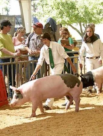 El Dorado Fairgrounds: 4H Swine