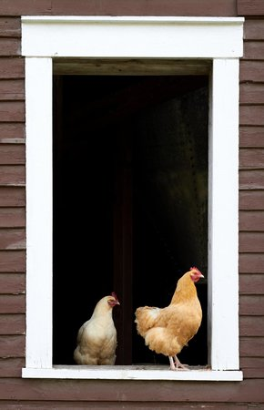 Hollister Hill Farm B&B: Chickens at barn window