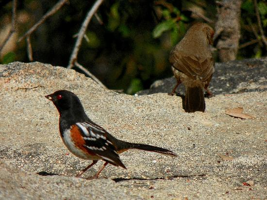 Pretty Birds (Towhees) in Pioneer Point Campground