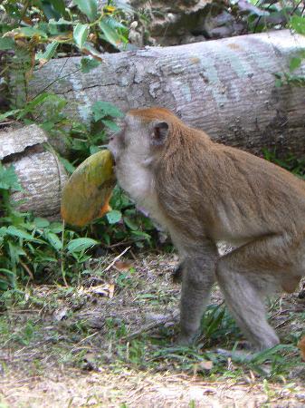 Railay Garden View Resort: Macacque and papaya