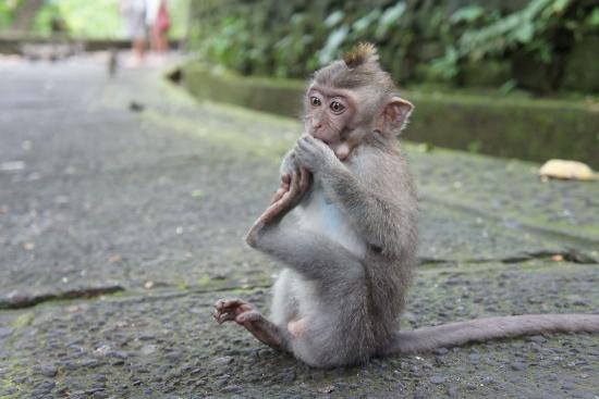 Bali Tradition: Des singes adorables!