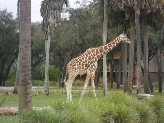 Disney's Animal Kingdom Villas - Kidani Village: we saw many animals, no need to pay extra for the savannah view