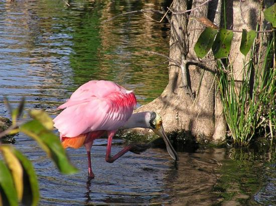 Delray Beach, FL: Roseate Spoonbill at Wakodahatchee Wetlands on 1/16/12