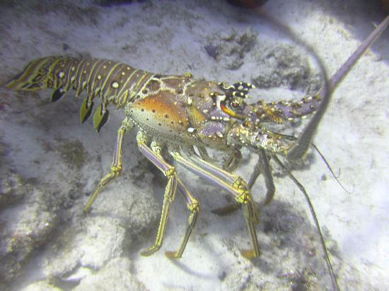 Allegro Cozumel: lobster walked right past me ... 2' away