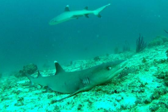 Diving Bluetribe Moofushi : requin pointe blanche