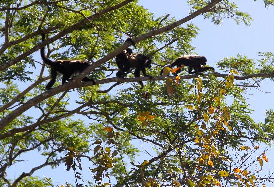 Playas del Coco, Kosta Rika: Howler Monkey crossing