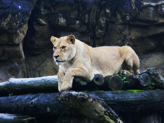 Taipei Zoo: lioness