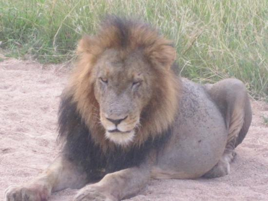 Londolozi Private Game Reserve: Beautiful Lion who was on the airplane runway!