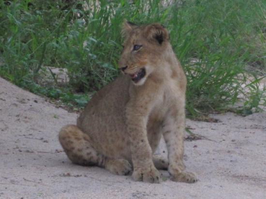 Londolozi Private Game Reserve: More Lions
