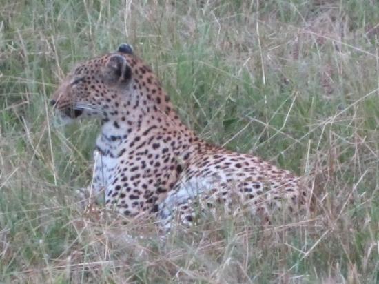 Londolozi Private Game Reserve: Resting Leopard