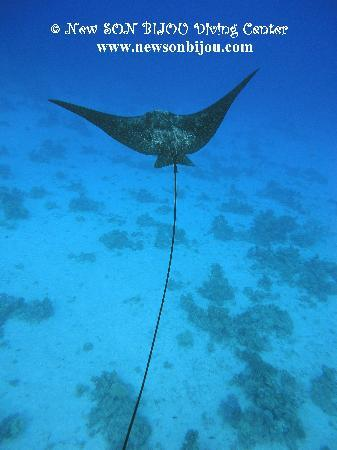 New Son Bijou Diving Center: during the dive we meet this beautiful EAGL RAY - www.newsonbijou.com -