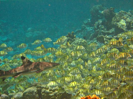 Lagoonarium: Banchi di pesci chirurgo