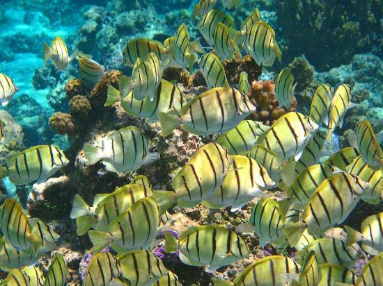 Lagoonarium: Banchi di pesci chirurgo (2)