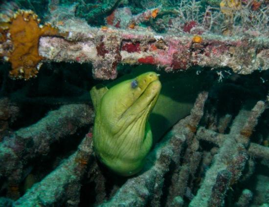 Adventure Scuba Diving : Moray eel
