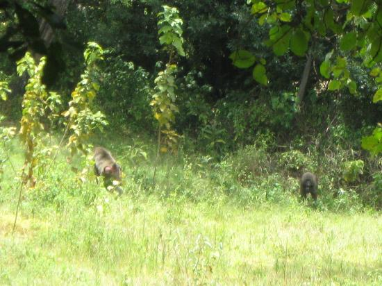Ol-moran Tented Camp: some monkeys we saw in the trees