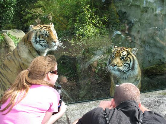 Auckland Zoo : Close up with the Tigers