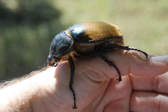 Drake Bay, Costa Rica: female rinocerous beetle