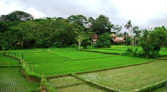 Saren Indah Hotel: Saren Indah rice view