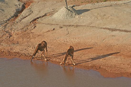 Zandibela Private Game Lodge : Girafes drinking by the dam