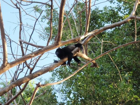 Rancho Armadillo Estate: howler monkeys on the property