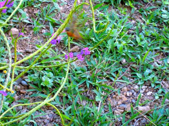 كاسيتاس سوليفانت: colibrì