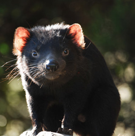 East Coast Natureworld : Tasmanian devil