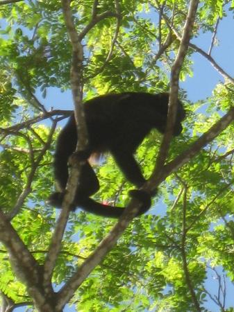 Zula Inn Aparthotel: howler monkey in the trees out front