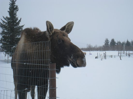 """907 Tours: Anchorage - Day Tours: """"Jack"""" the moose"""