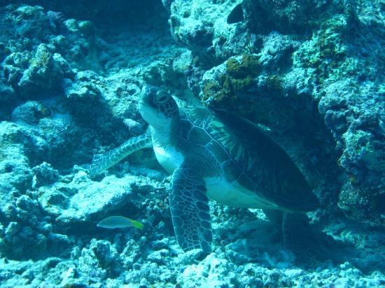 Cocoa Island by COMO: Friendly turtle