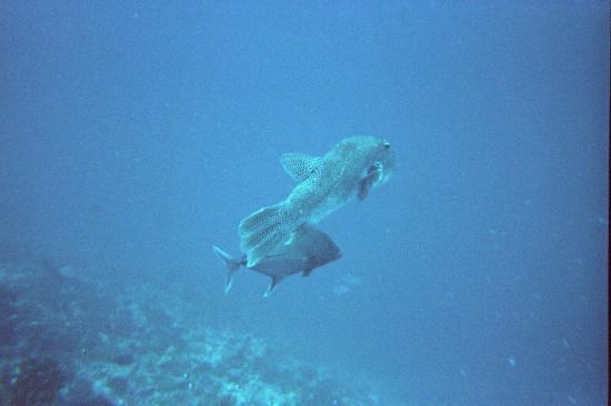 Rangiroa Plongée : poisson ballon
